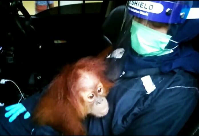 Petugas BKSDA Sumut amankan Orangutan dilindungi.